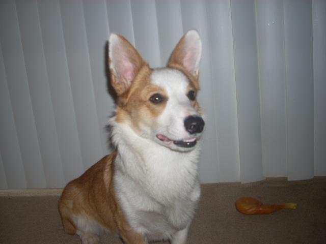 Example of a corgi dog. Actual police dog in training at Moscow Police Department is not pictured. Source: Wikimedia Commons
